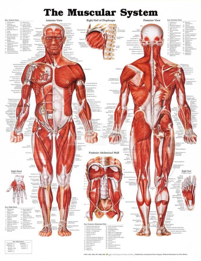 The Muscular System Anatomical Chart Poster At Allposters
