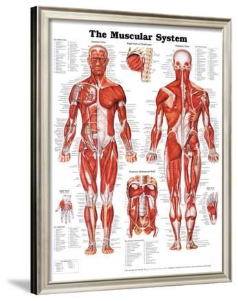 The Muscular System Anatomical Chart Poster at AllPosters.com