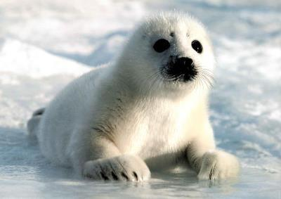 Harp Seal Pup Art Print Poster