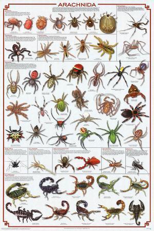Laminated Arachnida Spiders Educational Science Chart Poster