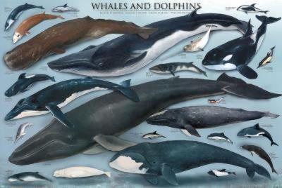 Laminated Whales And Dolphins Educational Poster