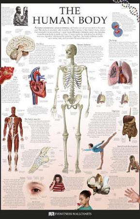 The Human Body Dorling Kindersley Educational Poster Print