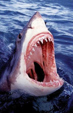 Great White Shark Art Photo Poster Print