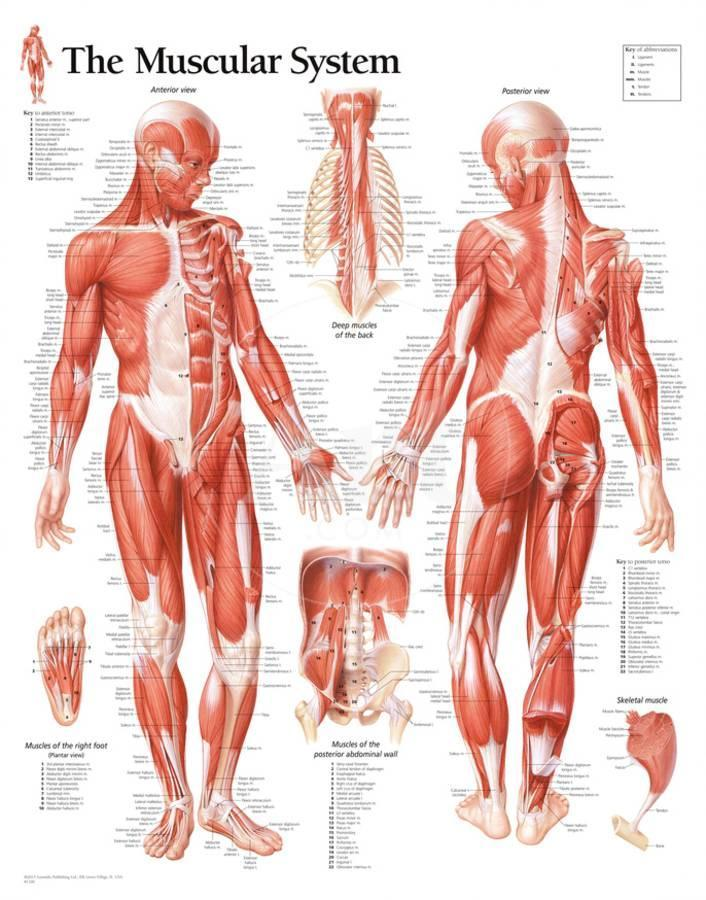 Muscular System Male Educational Chart Poster Poster At Allposters