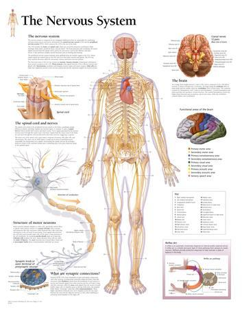 The Nervous System Educational Chart Poster