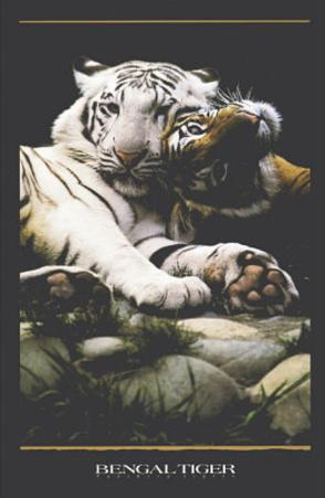 Bengal Tigers (White & Orange Tigers) Art Poster Print