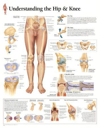 Understanding the Hip and Knee Anatomy Print Poster