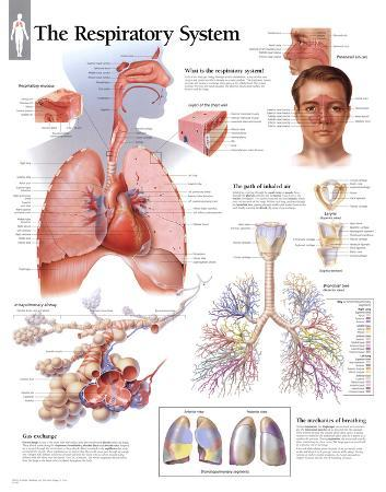 Respiratory System Educational Chart Poster