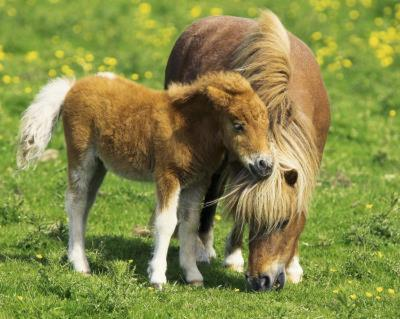 Two Ponies (Horses In Field) Art Poster Print