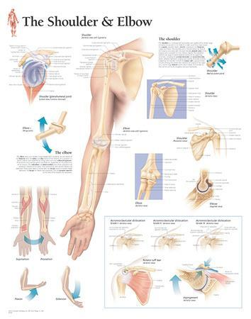 Understanding the Shoulder and Elbow Educational Chart Poster