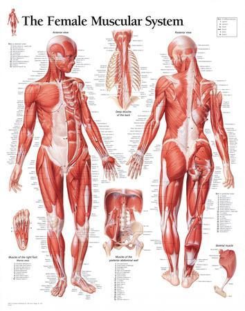 Muscular system female educational chart poster posters at