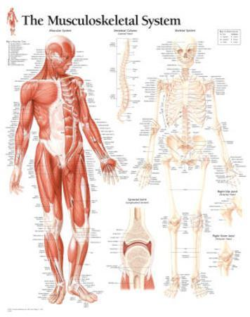 Laminated Musculoskeletal System Educational Chart Poster