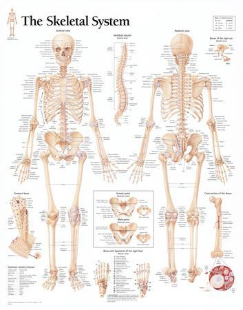 Laminated The Skeletal System Chart Poster