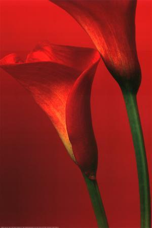 Calla Lillies (Red) Art Poster Print