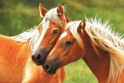 Horses Blondes Art Poster Print Poster At Allposters Com