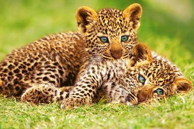 Cheetah Cubs in Grass Art Print Poster