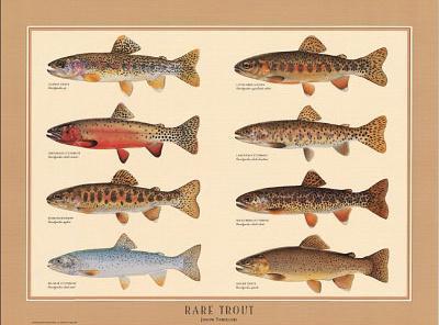 Rare Trout Fish Chart Art Print Poster