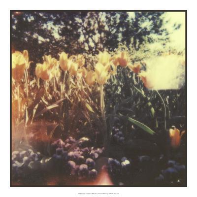 Tulipa Exposta I