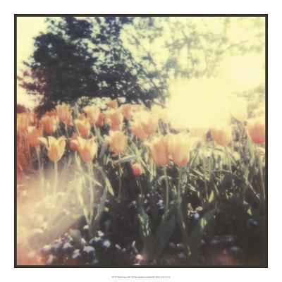 Tulipa Exposta II