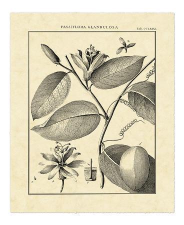 Vintage Botanical Study III