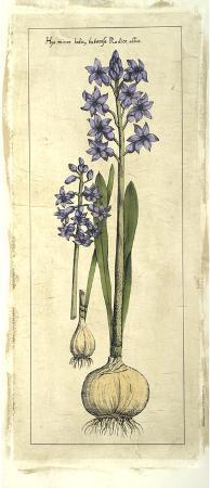 Embellished Hyacinth I