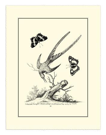 Longtailed Hummingbird , c.1742