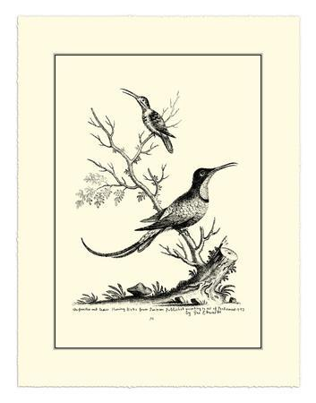 Greater and Lesser Hummingbird, c.1742