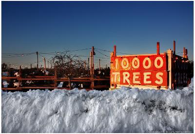 Christmas Trees For Sale Sag Harbor NY