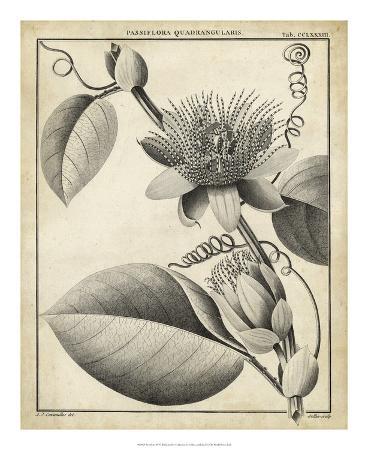 Passiflora IV