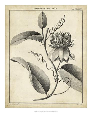 Passiflora V