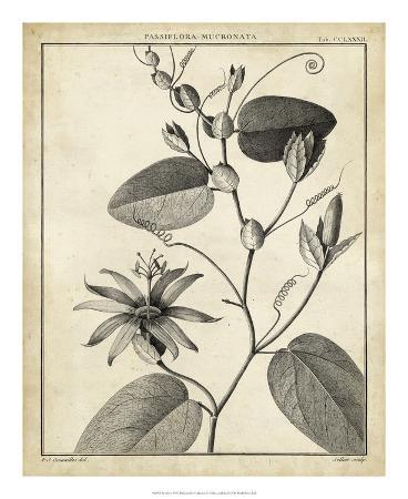 Passiflora VI