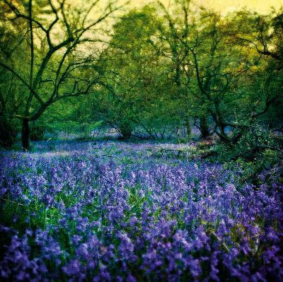 Bluebell Wood I