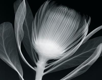 Protea Glow