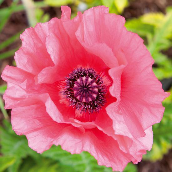Poppy Flower Iv Giclee Print By Joseph Eta At Allposters
