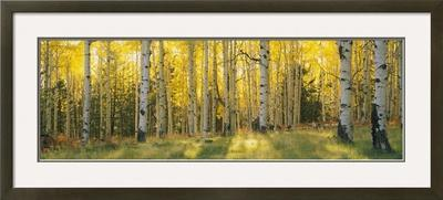 Aspen Trees in Coconino National Forest, Arizona, USA