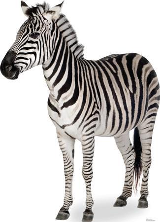 Zebra Lifesize Standup