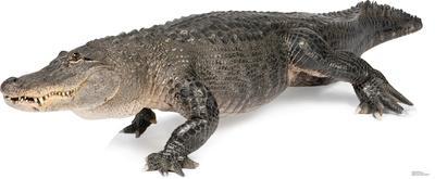 American Alligator Lifesize Standup
