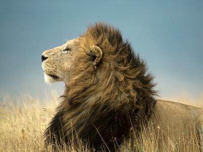 Simba His Majesty