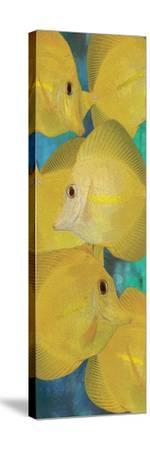 Yellow Tang 1