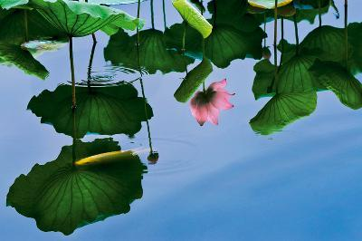 Lotus In Reflection