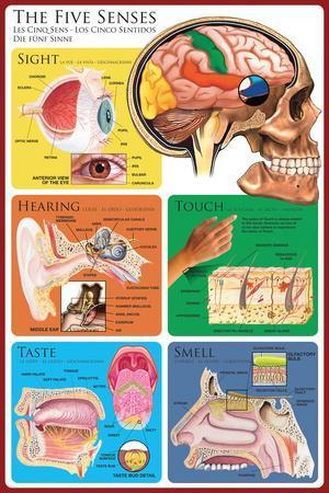 The Five Senses Educational Poster