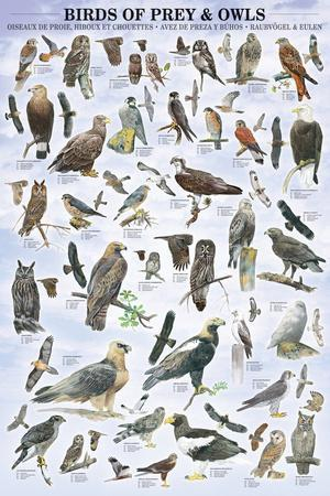 Birds of Prey and Owls Educational Poster