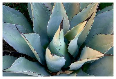 Agave, New Mexico