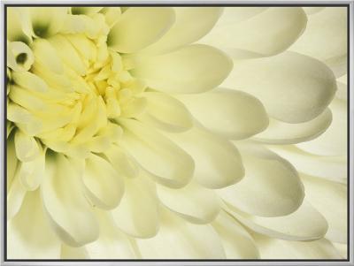 Close-Up of a White Chrysanthemum Flower