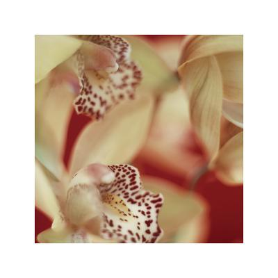 Cymbidium Flow I
