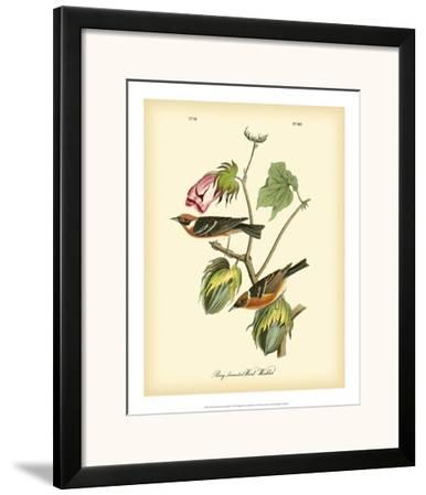 Bay Breasted Wood-Warbler