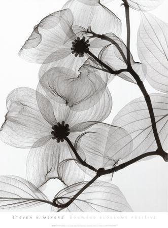 Dogwood Blossoms Positive