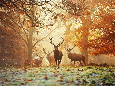 Four Red Deer in the Autumn Forest