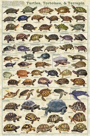 Turtles, Tortoises, & Terrapin