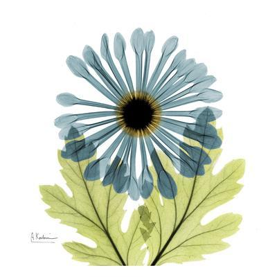 Chrysanthemum C